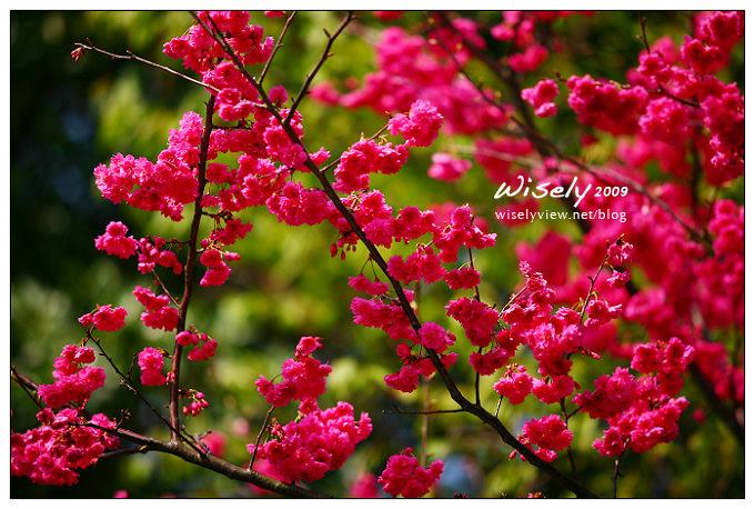 【留影】Canon EF 70-200mm/F2.8 L:陽明緋寒櫻