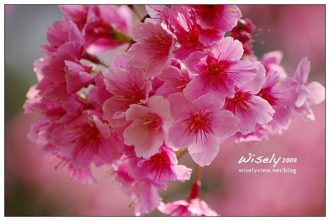 【留影】Pentax DSLR(18-55/55-200):陽明賞櫻花春遊2009