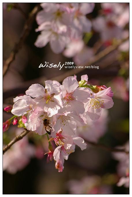 【留影】Pentax DSLR:2009無極天元宮櫻花隨拍 (23 PIC)