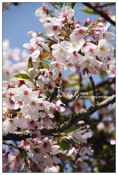 【遊記】2009阿里山賞櫻:遲了一周的美景 -4