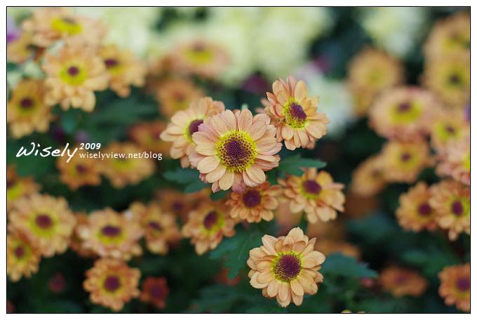 「共香盛菊」:2009年士林官邸菊展 (Pentax K-x拍攝)