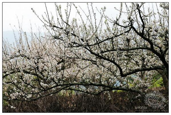 【旅遊】苖栗泰安:洗水坑老街、李花及大湖草莓