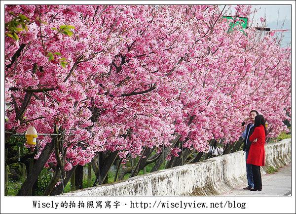 【隨拍】台中.新社區:路旁滿開的櫻花牆 (Panasonic Lumix GF2)