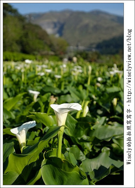 【遊玩】2011陽明山竹子湖海芋,景點與拍攝心得分享 (Fujifilm FinePix X100)