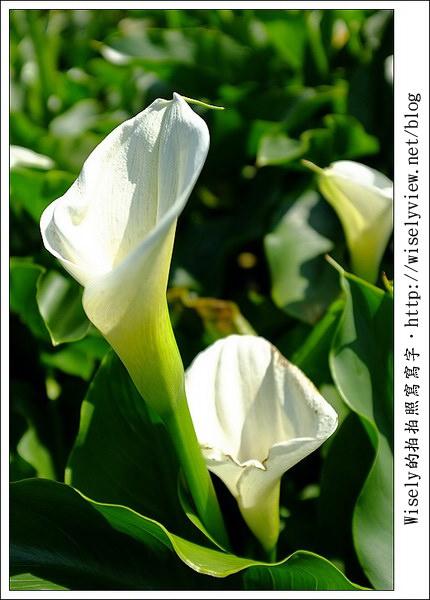 【活動】旅遊筆記.台北市:2011陽明山竹子湖海芋季 (活動資訊及交通資料)