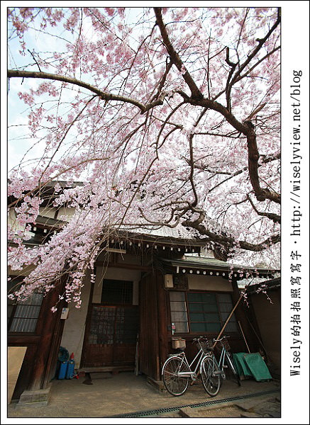 【隨拍】2011關西(京阪神)-12:奈良冰室神社之枝垂櫻 (Canon EOS 5D2)