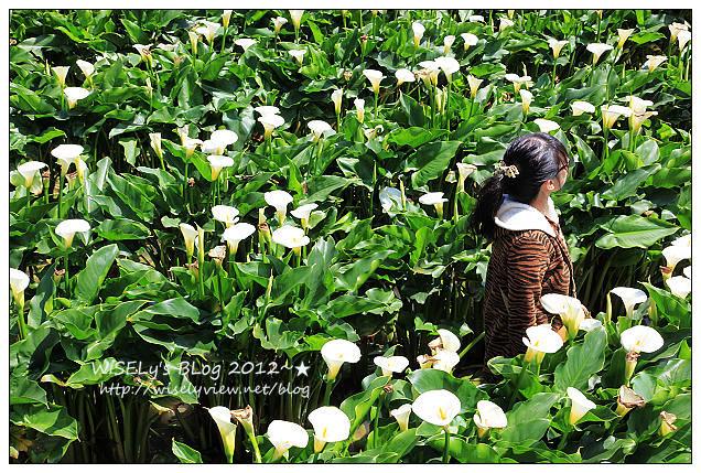 【遊玩】台北.陽明山:頂湖大賞園採海芋隨拍及交通資訊(2012竹子湖海竽季)