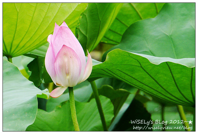 【攝影】LUMIX GX1 (with WB850F):2012植物園荷花盛開隨拍,再去嚐建中黑砂糖刨冰