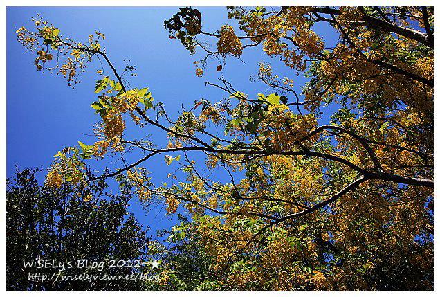【攝影】Canon EOS 5D2:高鐵旅遊@台中兒童藝術館(大里公園)黃金阿勃勒隨拍