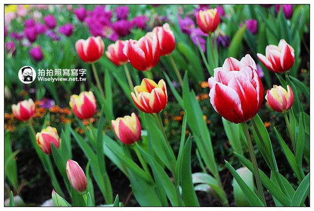 【景點】桃園縣.復興鄉:桃園仙谷鬱金香花季(12/29~3/24)@Canon EOS M作品及交通分享