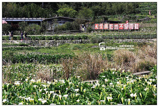 【隨拍】Canon 5D3:文化大學感恩麵店、頂湖花谷海芋園&陽明山花鐘春櫻/杜鵑(2013竹子湖海芋季 2013-03-04)