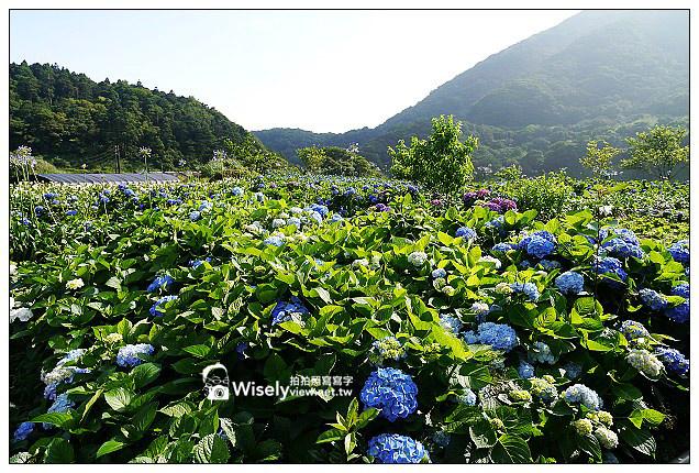 【遊記】台北市。北投區:竹子湖大梯田花卉生態農園(繡球花)@景點交通資訊及Lumix GX1隨拍