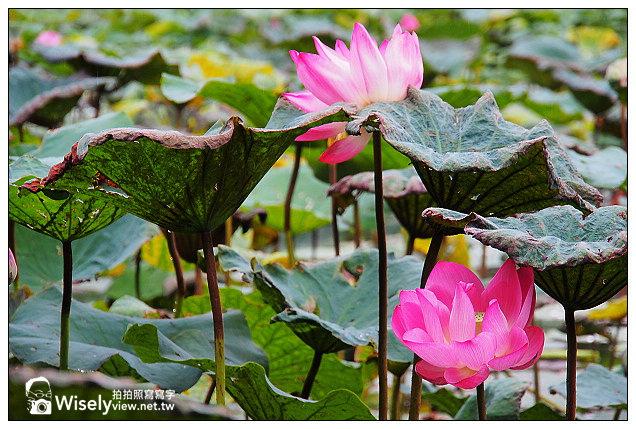【隨拍】台北市。中正區:夏日荷花季@2013植物園池畔荷花開&建中黑砂糖冰~Olympus EP5