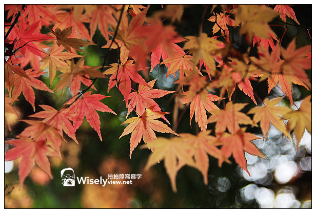 【遊記】賞楓景點:2013台中福壽山農場@松盧楓紅遊拍(11/11)
