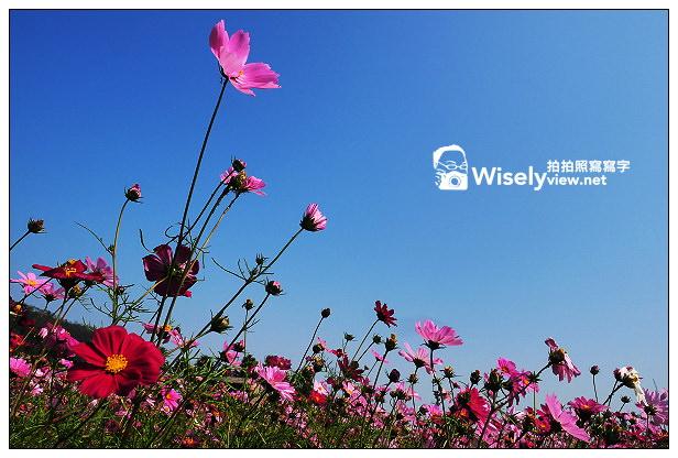 【景點】宜蘭縣。大同鄉:崙埤河濱公園:櫻花林園與波斯菊+油菜花(花海),花況持續到二月底