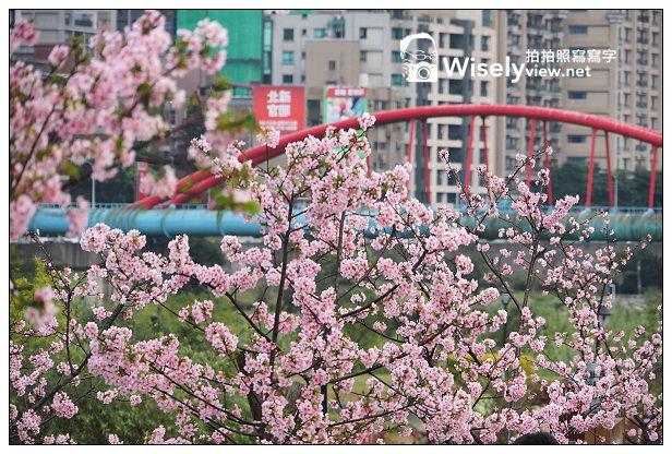 【景點】新北市。新店區:陽光運動公園@溪岸河津櫻盛開,位於安坑段停車場(交通指南)