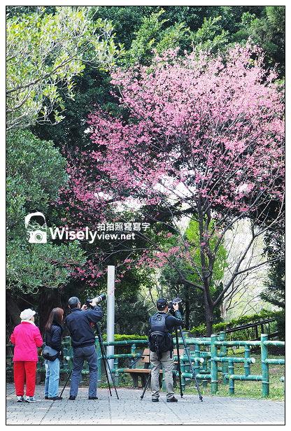 【遊記】台北市。中正區:2014中正紀念堂(櫻花步道)@八重櫻尾聲剩五成左右