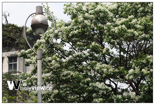 【遊記】2014台北市流蘇花季隨拍(3/26):台灣大學、大安森林公園、228紀念公園、萬華火車站&萬華林家仙草冰