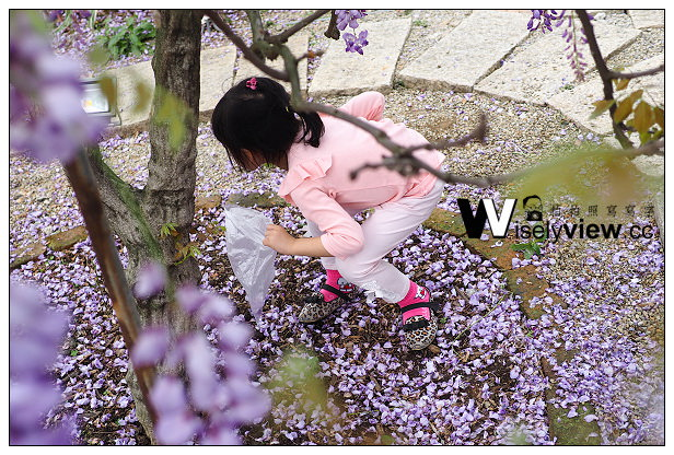【遊記】新北市。淡水區:紫藤咖啡園(3/29)@夢幻紫色隧道,鄰近聖約翰科技大學