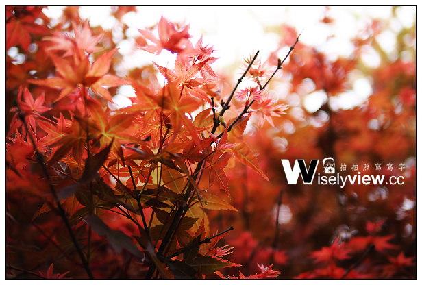 【遊記】台北市。士林區:陽明山花季:2014陽明山台北奧萬大(4/4)@楓葉拍攝心得&交通資訊