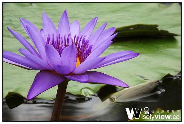 【遊記】台北。植物園荷花池@紅冠水雉、睡蓮荷花、凌霄花&綠繡眼~Olympus SP-100EE