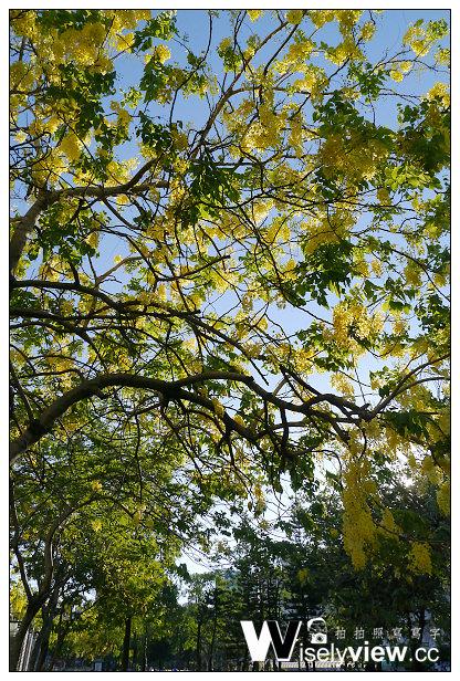 【遊記】高雄市。苓雅區:高雄花季@高雄市立文化中心阿勃勒滿開中~初夏黃金雨
