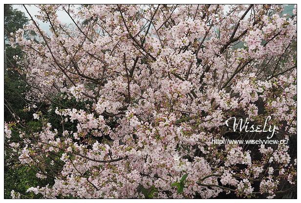 【遊記】新北市。淡水區:2015無極天元宮櫻花@3/14花況實拍,交管及大眾運輸資訊分享