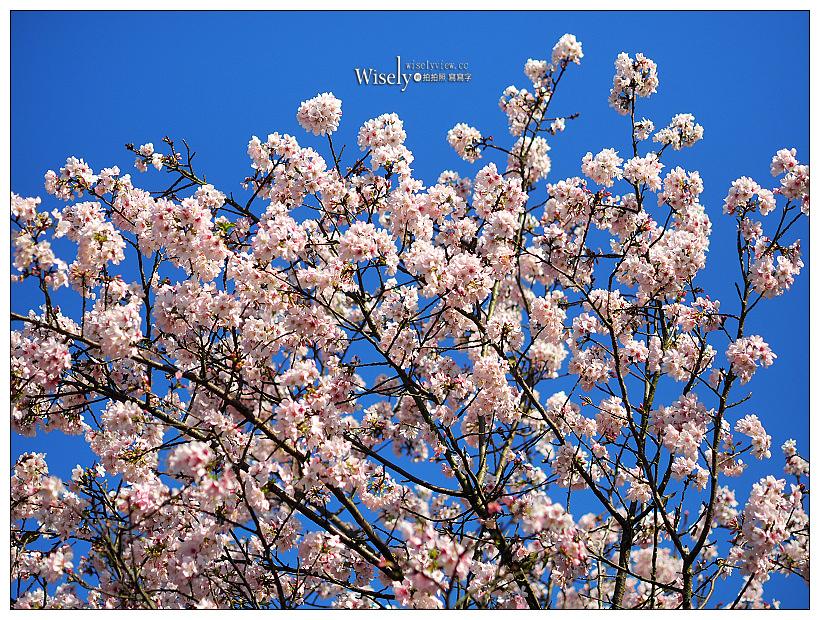 新北新店賞櫻|騰龍御櫻:鄰近木柵政大貓空,待老坑山步道裡的櫻花林