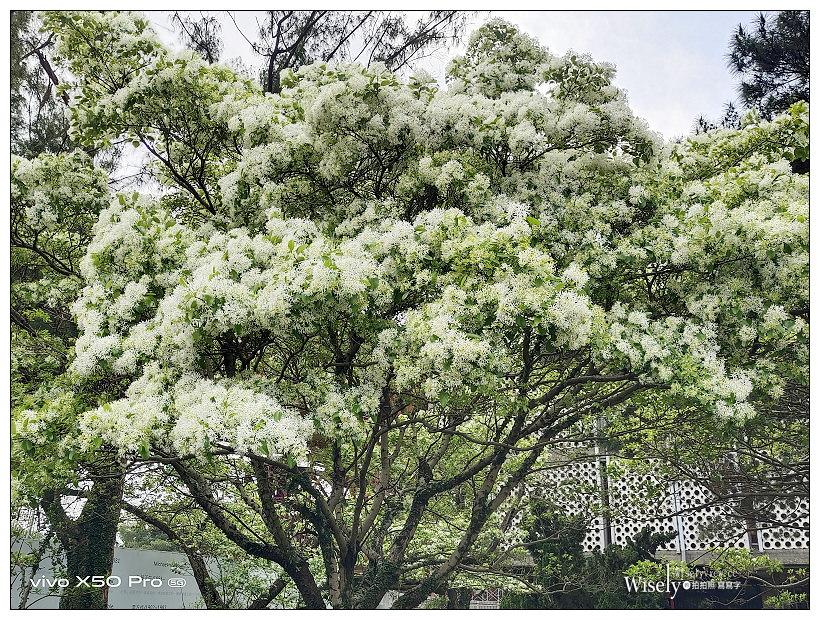 台大校園流蘇花開。四月雪︱台北賞花景點 03/14~台北流蘇景點