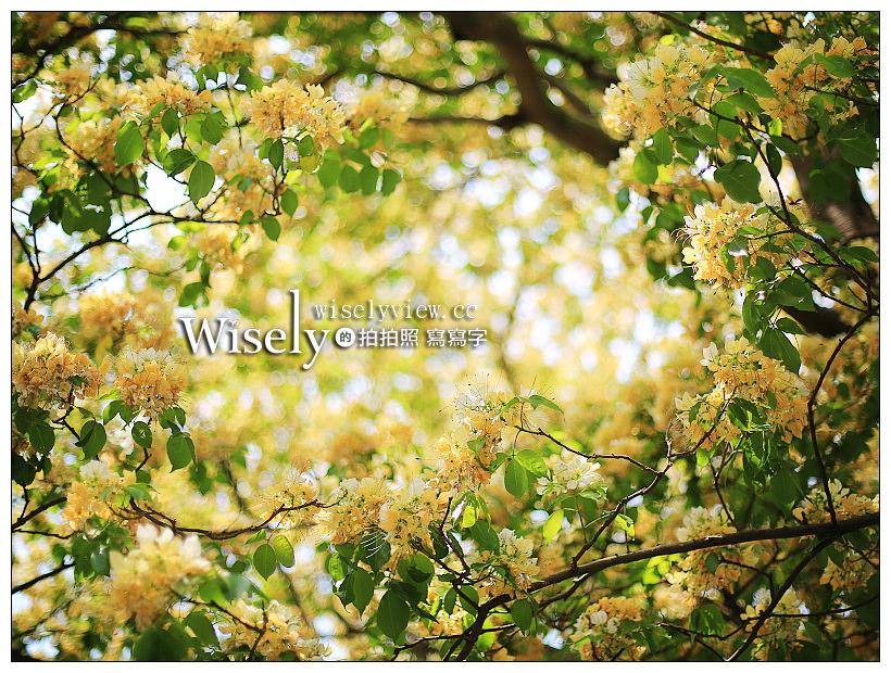 最新推播訊息:台北大安。台電加羅林魚木︱四月中旬盛開的金黃繁花,公館溫州公園旁,捷運公館站3號步行五分鐘