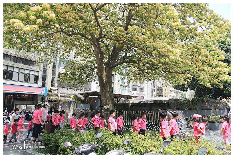 台北大安。台電加羅林魚木︱四月中旬盛開的金黃繁花,公館溫州公園旁捷運公館站2號步行五分鐘
